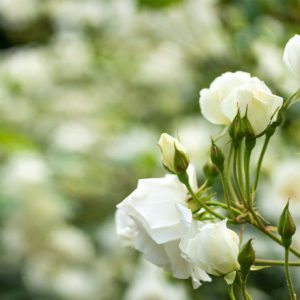 Background-white-roses